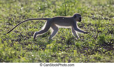 Vervet monkey walk back-lit in the early morning sun