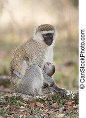 Vervet monkey with black face nursing baby