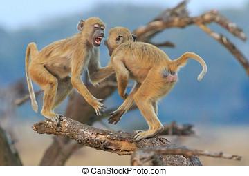 vervet, tak, vecht, aapjes