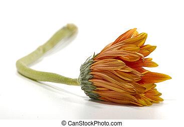 verwelkte, bloem