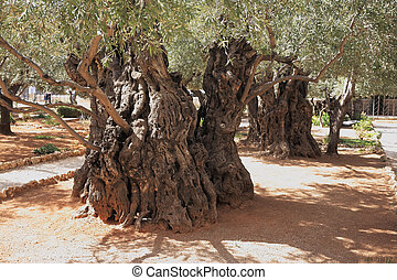Very ancient olive trees in the Gethsemane - Eternal holy...