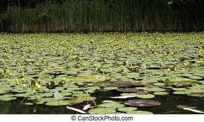 Very beautiful pond with unblown yellow lilies.