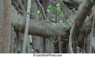 Very big banyan tree in Chennai