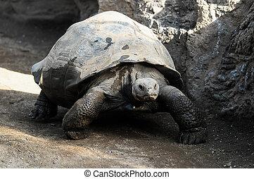 Big Galapagos Turtle