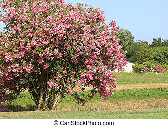 oleander with pink flowers bloomed in the temperate ...