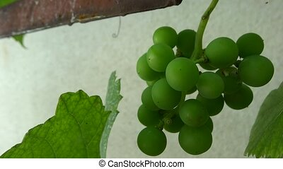 very close up bunch of grapes
