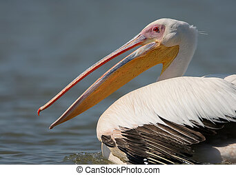 Very close up fragmente of portrait of white pelican