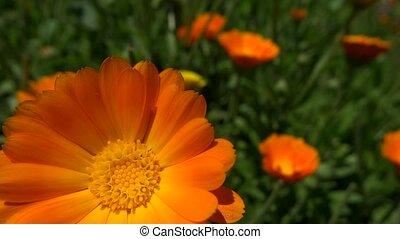 very close up marigold flower