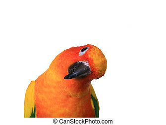 Bold Colored Sun Conure Parrot With Head Cockeyed