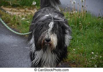 Very Cute Beardie Dog with Long Fur Hanging Down