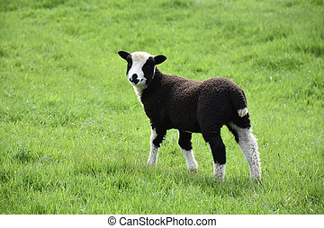 Very Cute Black and White Baby Lamb in a Field
