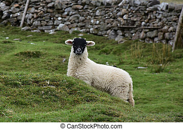 Very Cute Black Faced White Lamb in the Yorkshire Dales