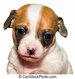 cute chihuahua puppy in front of a white background