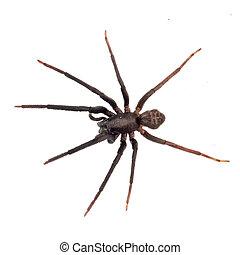 Very dark and hairy spider isolated on white. Segestria florentina. Cellar spider.