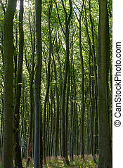 Very dense thick decidiuous forest with tall trees in Jasmund National Park in Germany