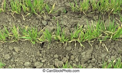 Very drought dry field land with wheat Triticum aestivum, drying up the soil cracked, climate change, environmental disaster and earth cracks, death for plants and animals, degradation