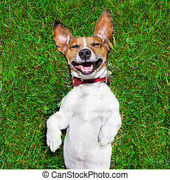 super funny face dog lying on back on green grass and laughing out loud