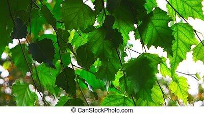 Very green leaves backlit. - Very green birch leaves...