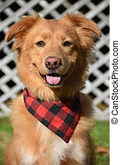 Adorable toller with a bandana and a big smile.
