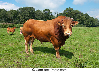 limousine bull - very impressive limousine bull in a dutch...