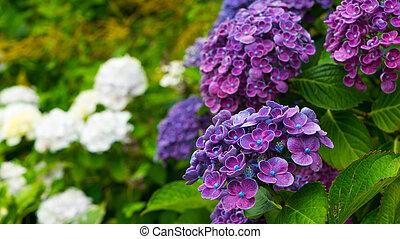 Very interesting flowers of purple hydrangeas