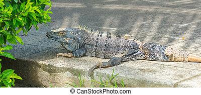 Very large Black Iguana (Ctenosaura similis).