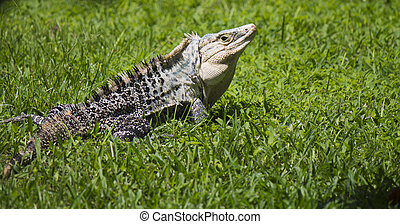 Very large Iguanidae, Iguana looking back in short grass