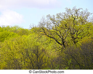 large oak tree in the background of a spring forest.