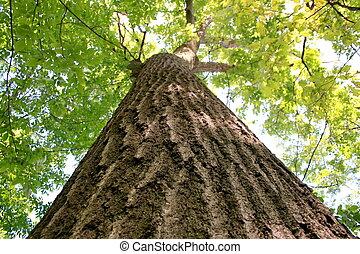 very large old oak tree