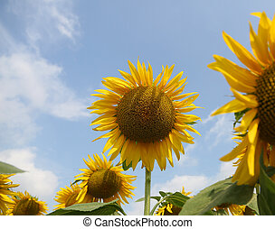 sunflower with yellow petals in the field of flowers in summer and the background of the blue sky