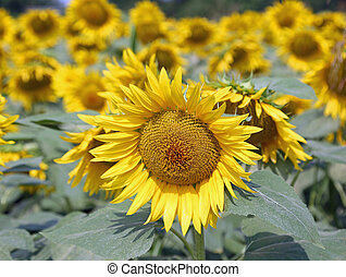 large sunflower with yellow petals in the field of flowers