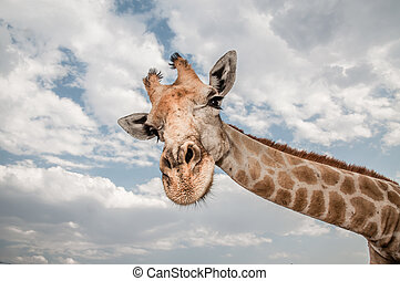 Very Long Neck - Close up photo of the neck and face of a...