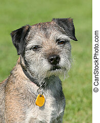 Very old Border Terrier in a garden