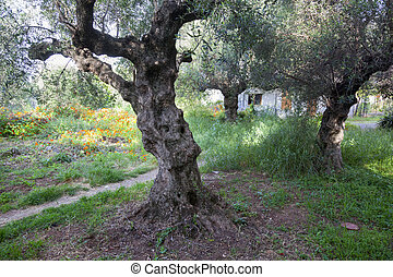 old olive trees and flowers in greek garden in spring