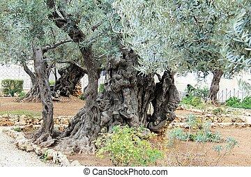 Very old olives in Gethsemane garden - A tree in the Garden...
