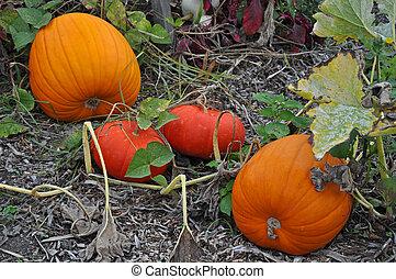 Very orange pumpkins