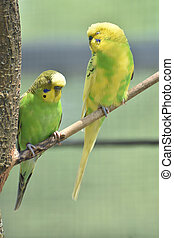Very Pretty Budgies with Bright Colored Feathers in a Tree