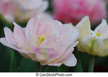 Very Pretty Pale Pink Parrot Tulip Flower Blossom