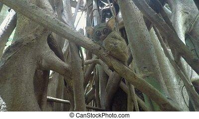 Spectral tarsier (Tarsius spectrum) - very rare Spectral...