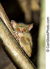 very rare Spectral Tarsier, Tarsius spectrum, Tangkoko National Park, Sulawesi, Indonesia, the world's smallest primate, true wildlife