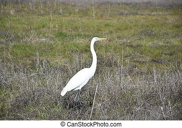 Very Regal Looking Great Egret Bird in a Field