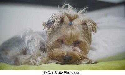 Very sad dog. Sad border Yorkshire Terrier.The dog is sick...