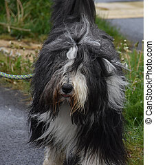 Very Shaggy Bearded Collie Dog with Lots of Fur