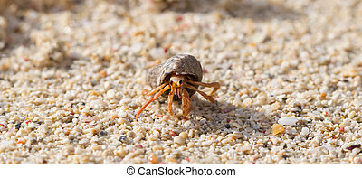 Very small lobster in a small shell, walking on beach