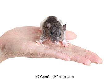 rat on a palm