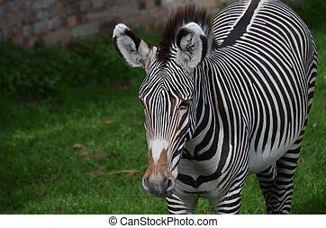 Very Sweet Face of a Zebra with Bold Stripes