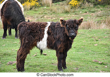 Very Sweet Faced Baby Belted Galloway in a Field
