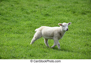Very Sweet Faced White Lamb in a Grass Field
