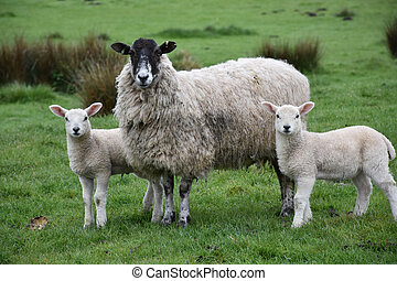 Very Sweet Pair of Lambs with a Sheep