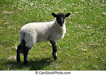 Very Sweet Young Lamb with a Black Face in England
